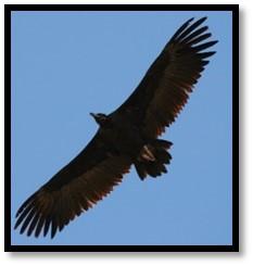 vautour-ok